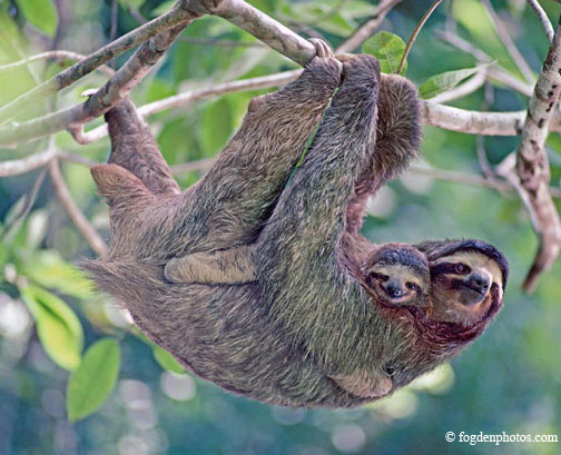 The female brown-throated three-toed sloth carries her single offspring with her for several months until the young sloth can forage on its own.  The infant clings to its mother's fur and is taken everywhere with her, snuggled up in its own portable hammock from which it views the world with lively curiosity. / Nikon F3; Zoom-Nikkor 80-200 mm; Kodachrome film.