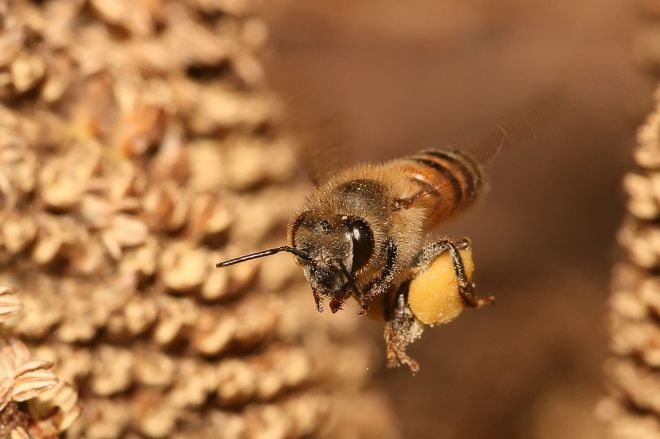 1280px-Apis_mellifera_flying