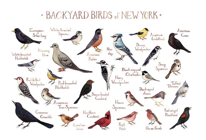 Backyard Birds of NewYork by Kate Dolamore